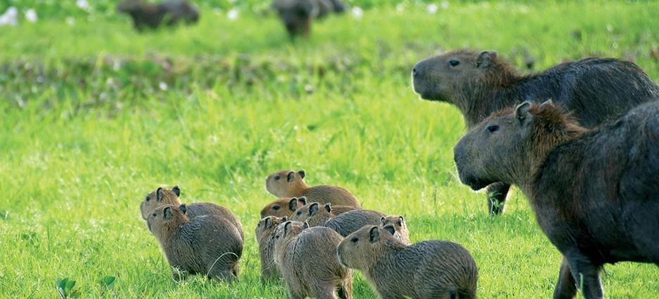 Capybara Family, Los Llanos